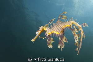 sea dragon by Afflitti Gianluca 
